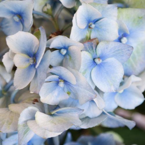 Hortensie blau und grün